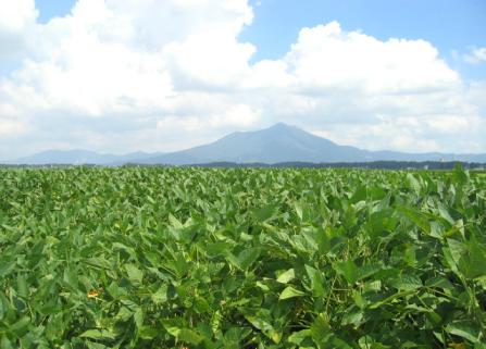 茨城県の大豆畑