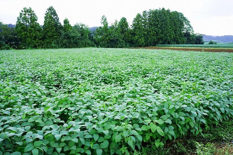 茨城県産大豆の圃場状況2015年9月4日