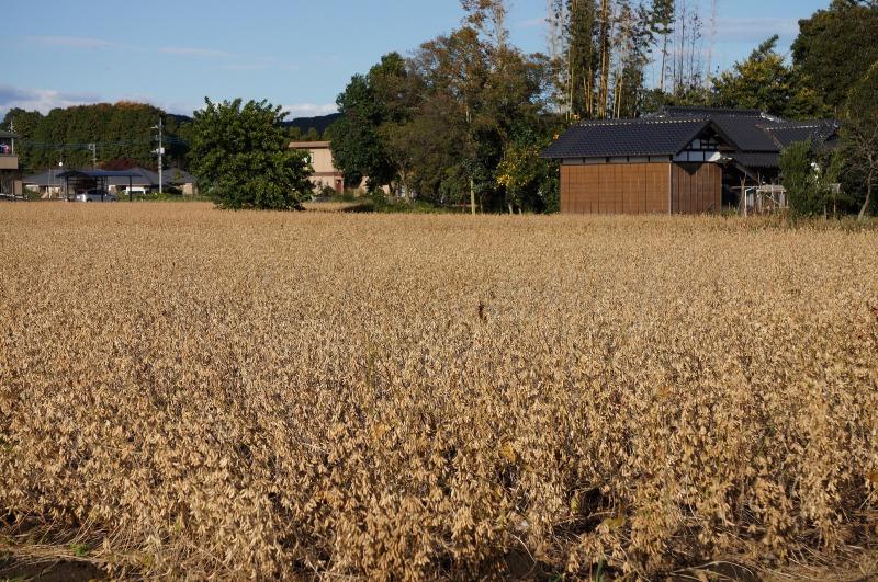 茨城県産大豆の圃場状況2015年11月3日