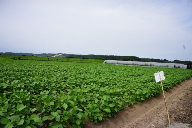茨城県産大豆の圃場状況2016年8月10日