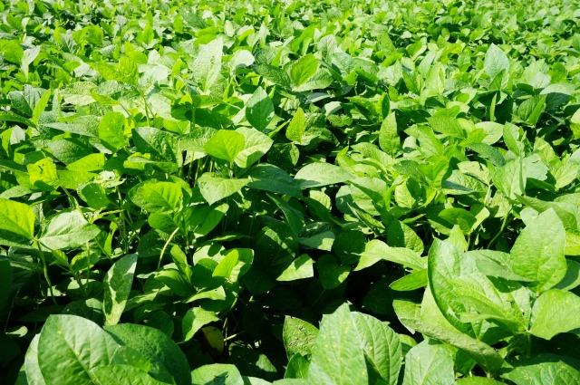 茨城県産大豆の圃場状況2016年8月26日